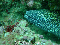 Blotched Moray off Muscat on Fuji F30 by Philip Sykes